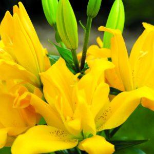 Āzijas pildītās lilijas